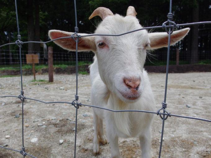 西那須野ホウライ千本松牧場人懐っこいヤギ