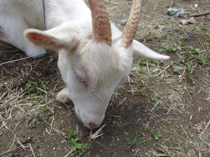 西那須野ホウライ千本松牧場柵から顔を出して草を食べるヤギ