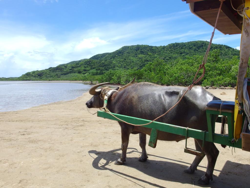 由布島へ向かう水牛車と青い空