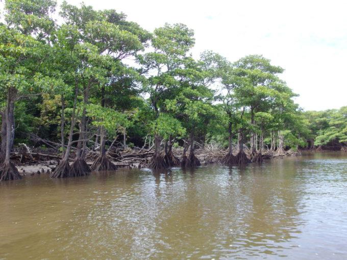 西表島仲間川ヒルギの深い森