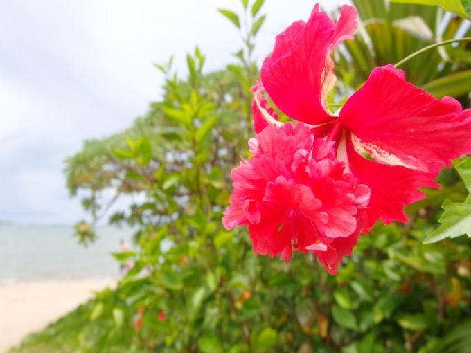 由布島の美しい八重咲きのハイビスカス
