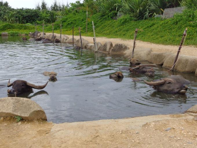 由布島非番用の水牛の池