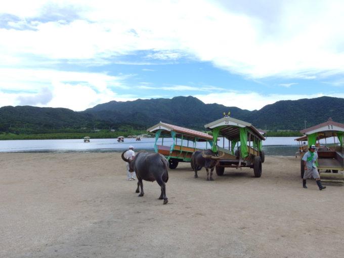 由布島仕事場へと向かう水牛