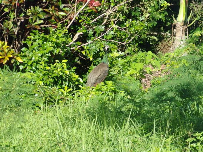 石垣島で見かけた野生の孔雀