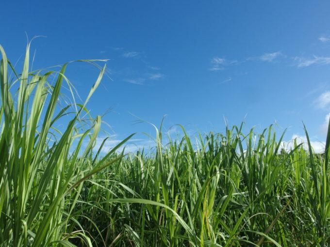 石垣島の爽快な青空とサトウキビ畑