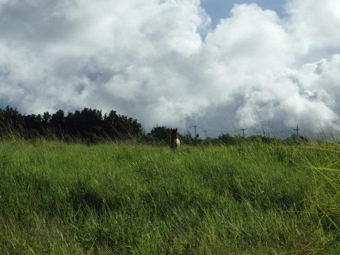 石垣島で見つけた放し飼いの馬