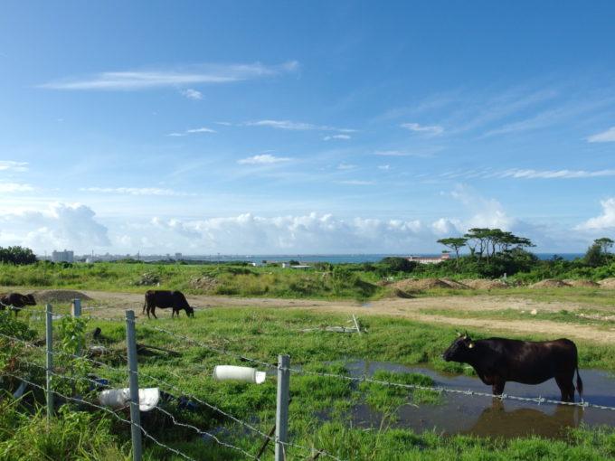 石垣島の牛牧場