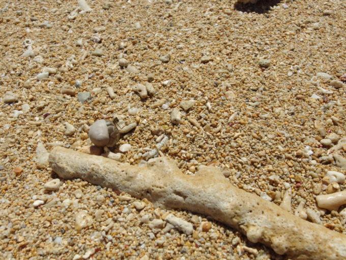 フサキビーチ珊瑚の横を歩くヤドカリ