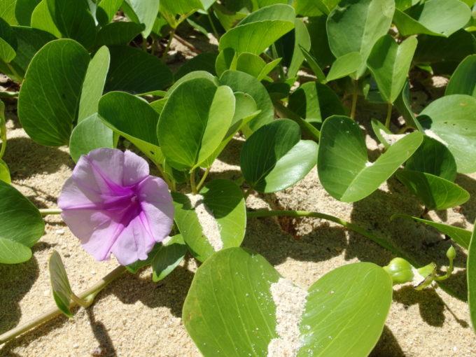 フサキビーチ炎天下の下懸命に咲くハマヒルガオ