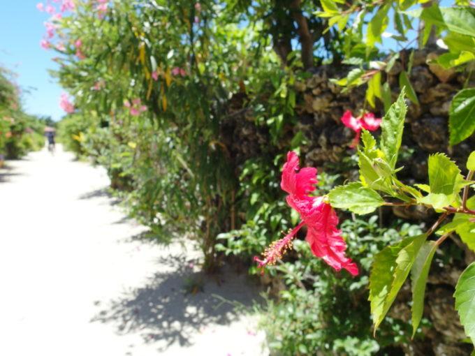 竹富島の集落を彩るハイビスカス