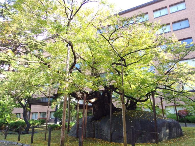 朝日に染まる盛岡石割桜