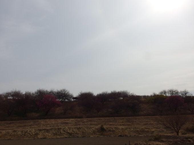 甘楽町の長閑な景色に咲く梅の花