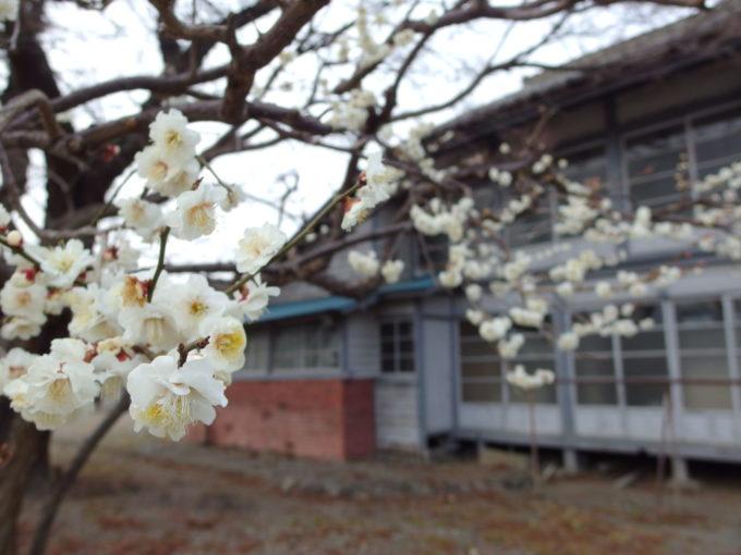 富岡製糸場女工さんの寮を彩る梅の花
