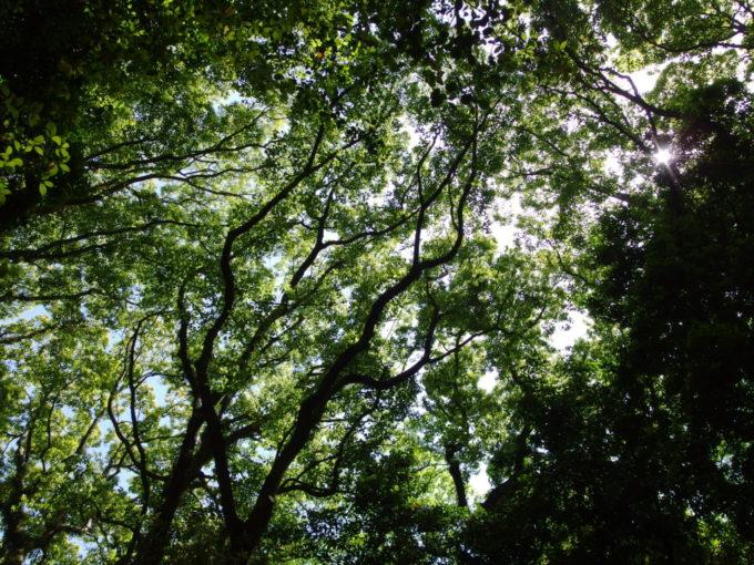 初夏の陽射しに透かされる木々の葉