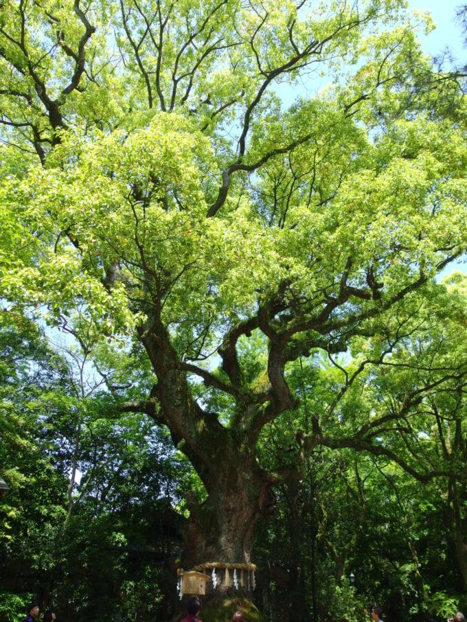 樹齢千年とも言われる熱田神宮の大楠