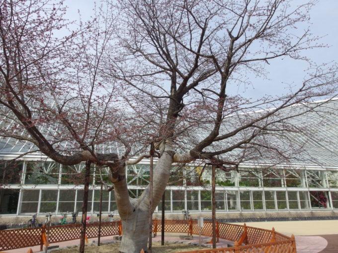 苫小牧出光カルチャーパークゴールデンウィークのつぼみ膨らむ桜