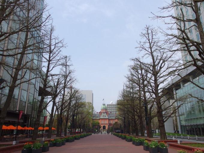 赤れんが庁舎を背景に並ぶ樹齢100年を超えた銀杏