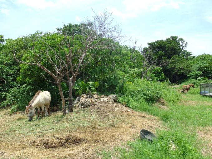 夏の竹富島草を食む2頭の馬