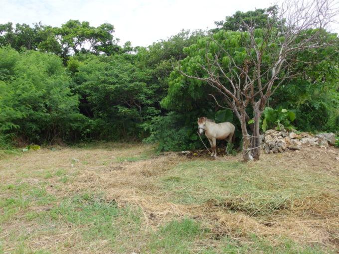 夏の竹富島繋がれた白馬にご挨拶