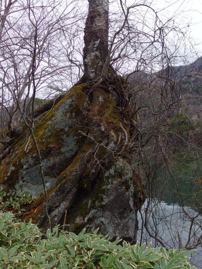 初冬の湯ノ湖畔巨岩にしがみつく木