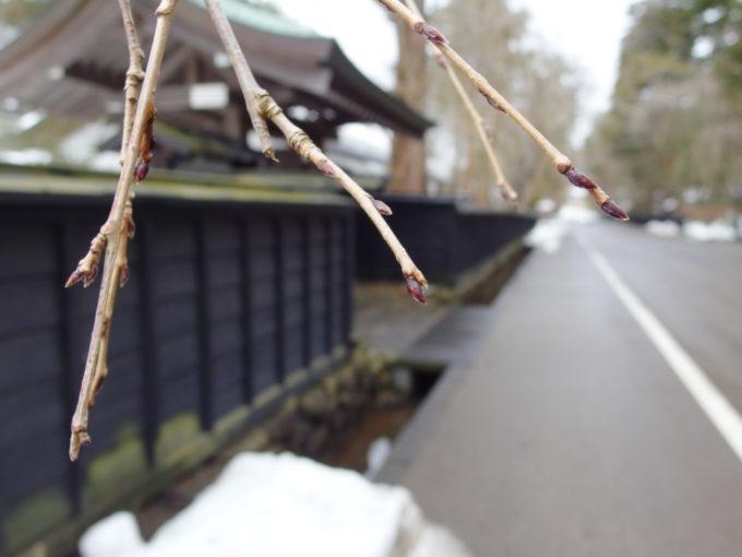 冬の角館まだ固い枝垂桜のつぼみ