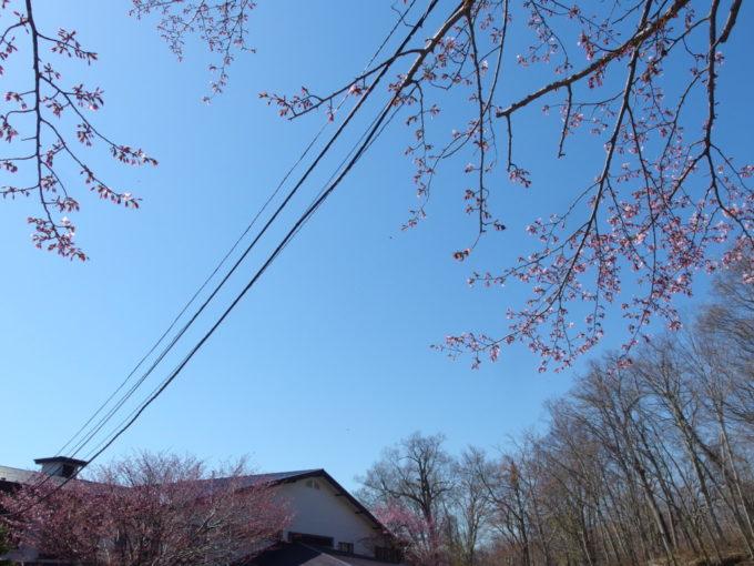 ゴールデンウイークの丸駒温泉旅館チェックアウト時には桜が咲き始め