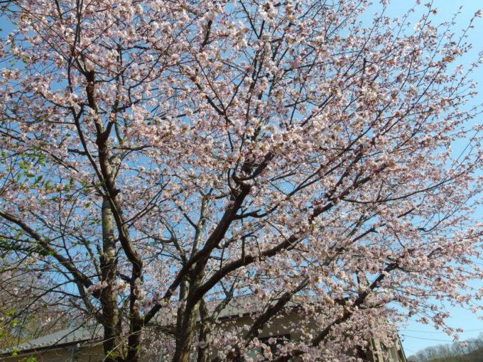 登別温泉街に咲く満開の桜