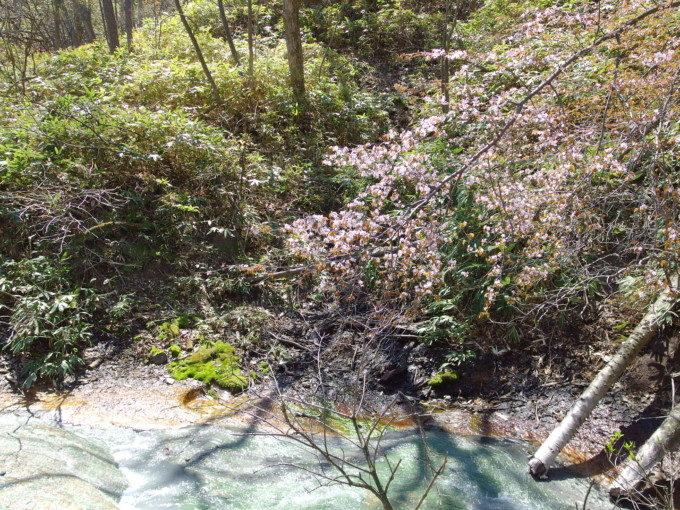 大湯沼川に咲く山桜