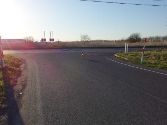 苫小牧東港付近の道路に現れたキタキツネ