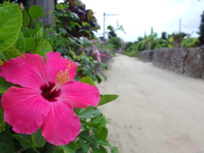 夏の竹富島集落を彩るハイビスカス