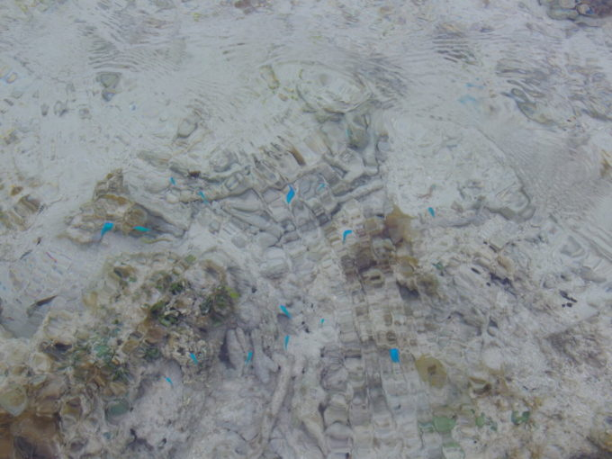 夏の竹富島沖の砂州からコンドイビーチへと戻る途中で見つけた水色の魚の群れ