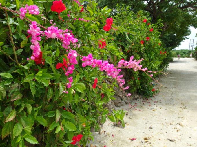 夏の石垣島竹富島集落を彩る可憐な花