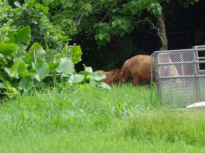 夏の石垣島竹富島かわいい馬の親子