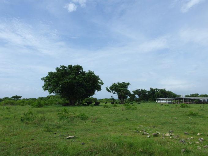 夏の石垣島竹富島木陰で休む黒い牛たち