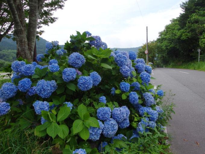十和田湖温泉郷から蔦温泉へと向かう道に咲く大輪のあじさい