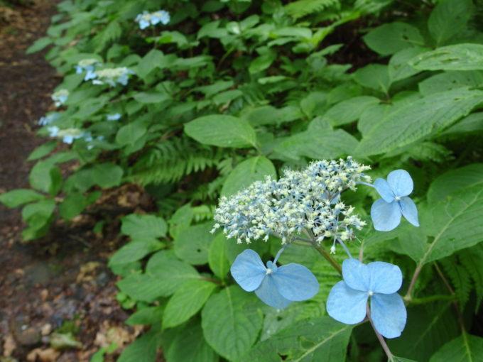 夏の青森蔦沼遊歩道道端に咲く美しいガクアジサイ