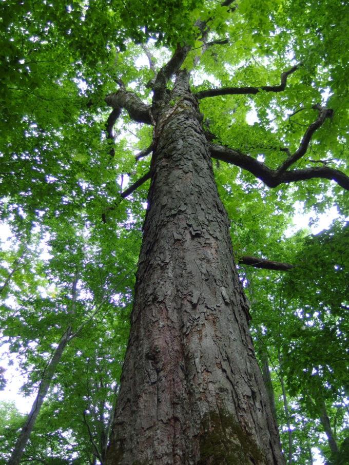 夏の青森蔦沼遊歩道見上げるほどのブナの大木