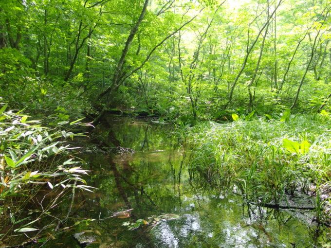 夏の青森蔦沼遊歩道陽射しに照らされ鮮やかな緑に染まる流れ