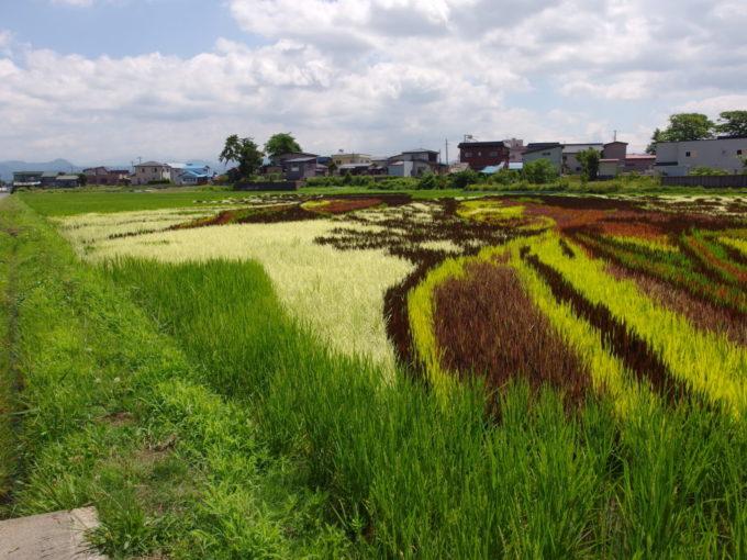田舎館田んぼアート間近で見るカラフルな稲