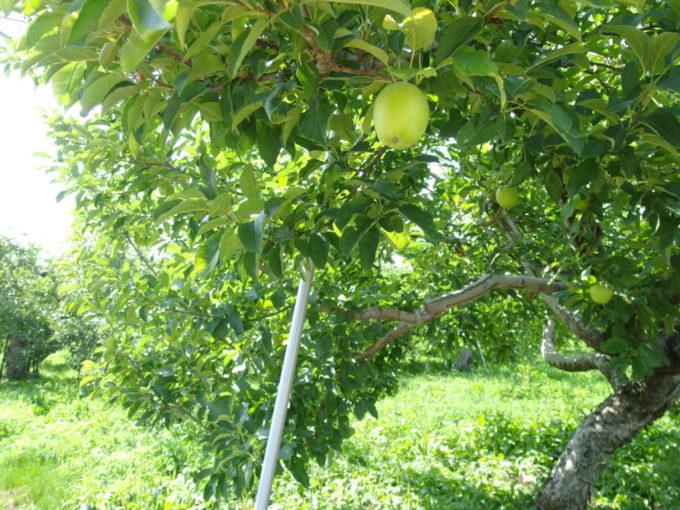 平川市尾上地区生垣ロード沿いになる若く青いりんごの実