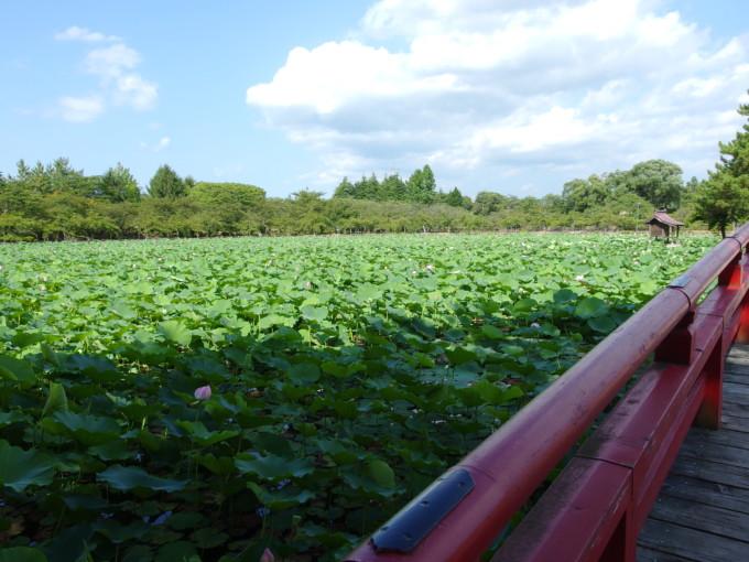 津軽尾上猿賀神社神池鏡ヶ池を埋め尽くす蓮の花