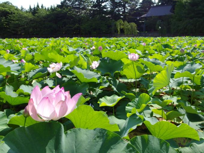津軽尾上猿賀神社鏡ヶ池に咲く艶やかな蓮の花