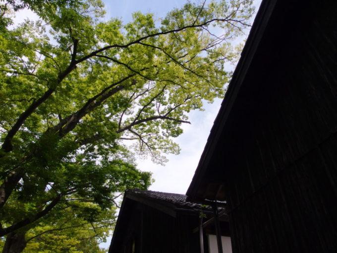 夏の酒田山居倉庫夏空に映えるけやきの緑