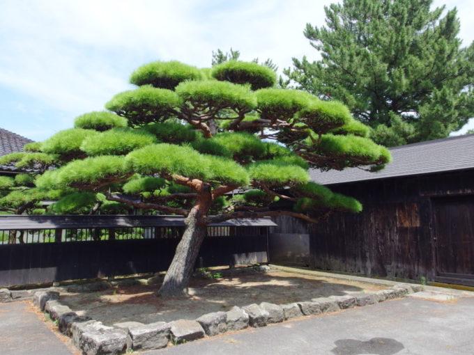 夏の酒田山居倉庫に植えられた立派な枝ぶりの松