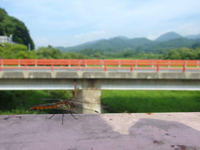 小国川支流の明神川を渡る橋にとまるトンボ