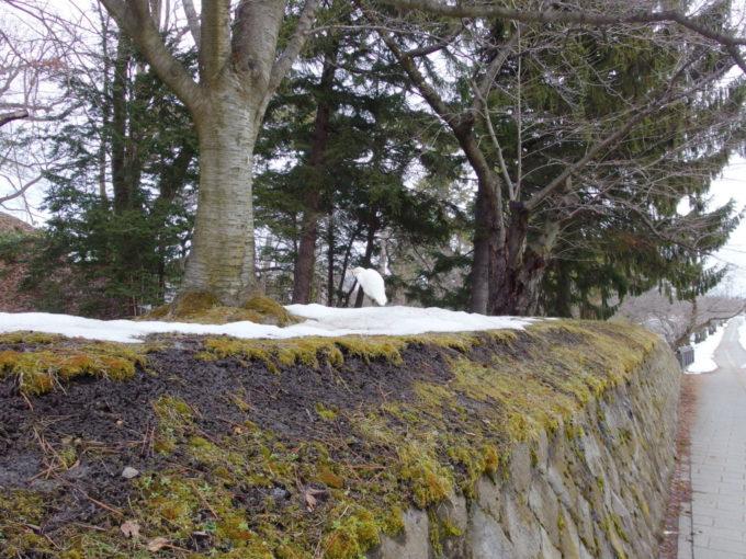 雪のない冬の弘前お堀の土手に佇む美しい白鷺