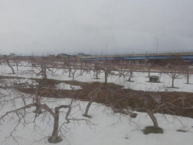 雪の少ない冬の津軽路薄い積雪とりんごの木