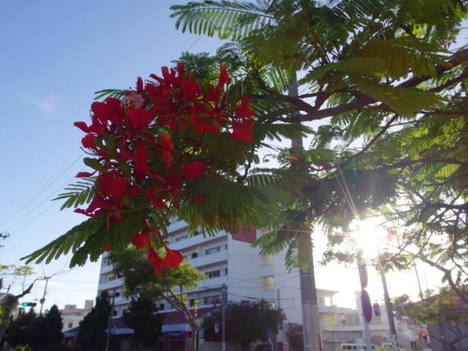 6月下旬人の少ない石垣島西日に輝くホウオウボクの赤い花