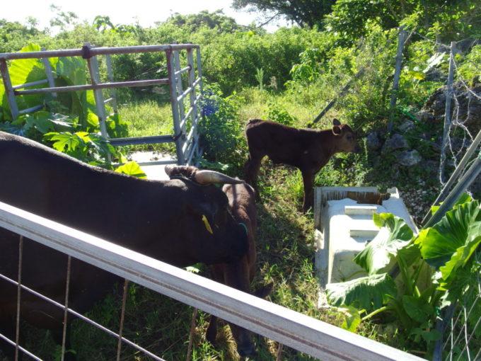 6月下旬人のいない竹富島かわいい牛の親子