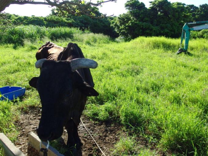 6月下旬人のいない竹富島交差点に佇むかわいい牛